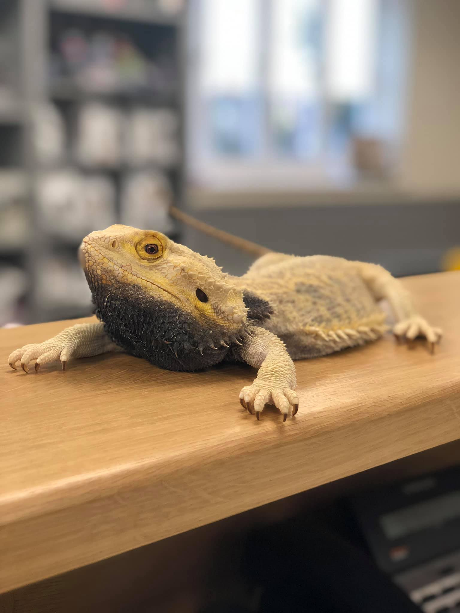 Bearded Dragon at Portland Vets