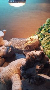 Bearded Dragon home